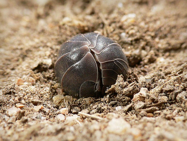 pill bugs aka sow bugs and roly polies