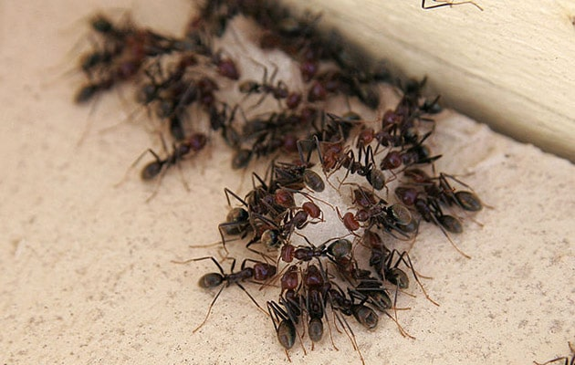 ants, house ants, garden ants, carpenter ants