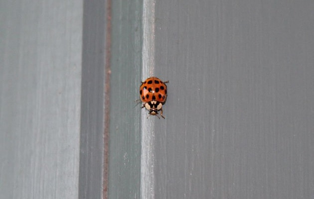 asian lady beetle - harmonia axyridis