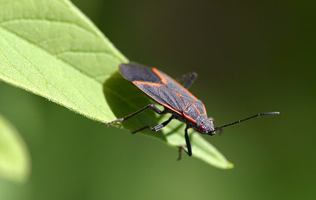 boxelder bugs, seed bugs, and true bugs