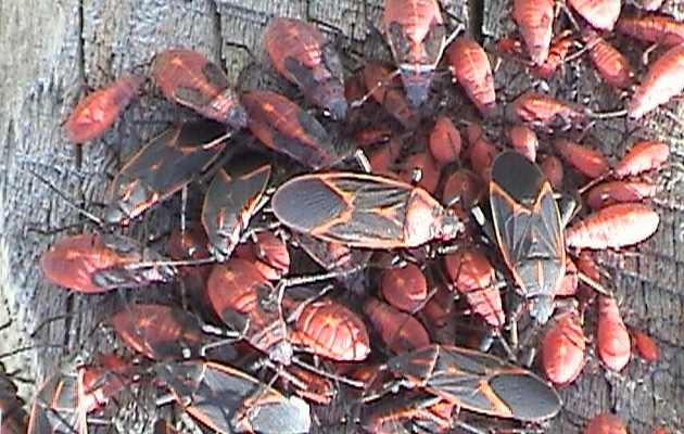 box elder bugs, true bugs, and seed bugs