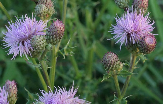 canadian thistle - asteraceae