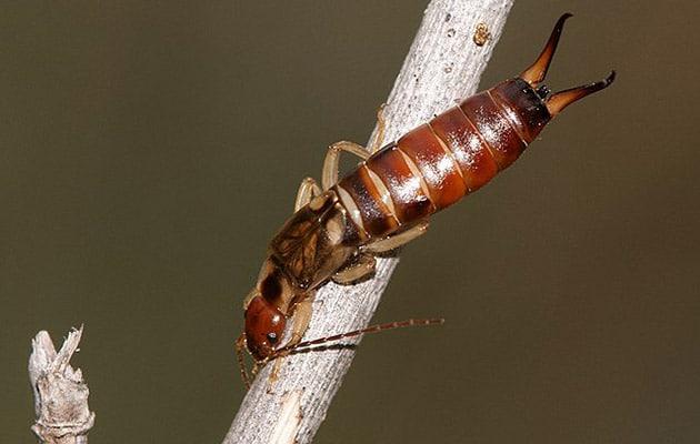 earwigs - dermaptera