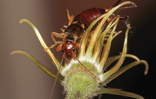 earwig - dermaptera