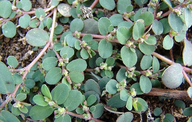 spottes spurge - euphorbia maculata