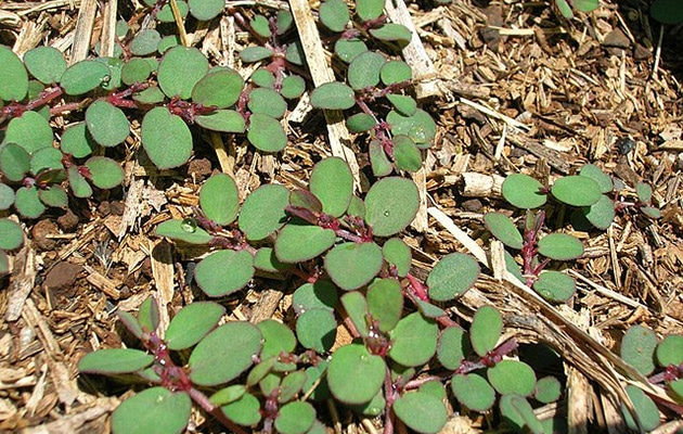 spotted spurge - euphorbia maculata